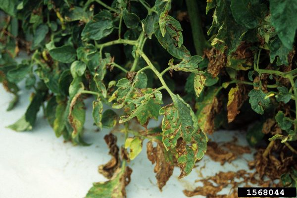 Mancha bacteriana en tomate (Xanthomonas vesicatoria) - Daño en planta/Créditos: Edward Sikora, Auburn University, Bugwood.org