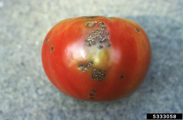 Mancha bacteriana en tomate (Xanthomonas vesicatoria) - Daño en fruto  /  Créditos: Mary Ann Hansen, Virginia Polytechnic Institute and State University, Bugwood.org