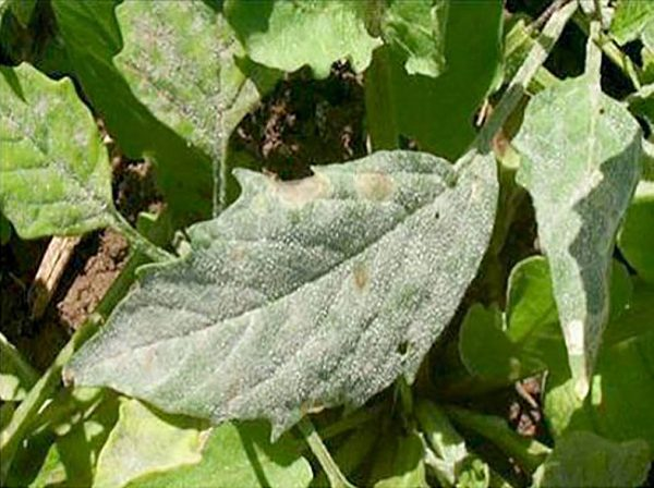 Cenicilla en tomatillo (Oidium sp) - Síntomas en hojas