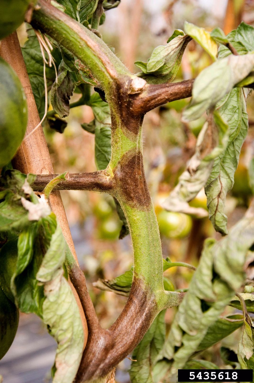 Фитофтороз рассады томатов фото