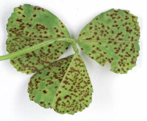 Roya de la Alfalfa (Uromyces striatus) - Envés de la hoja con signos de la enfermedad