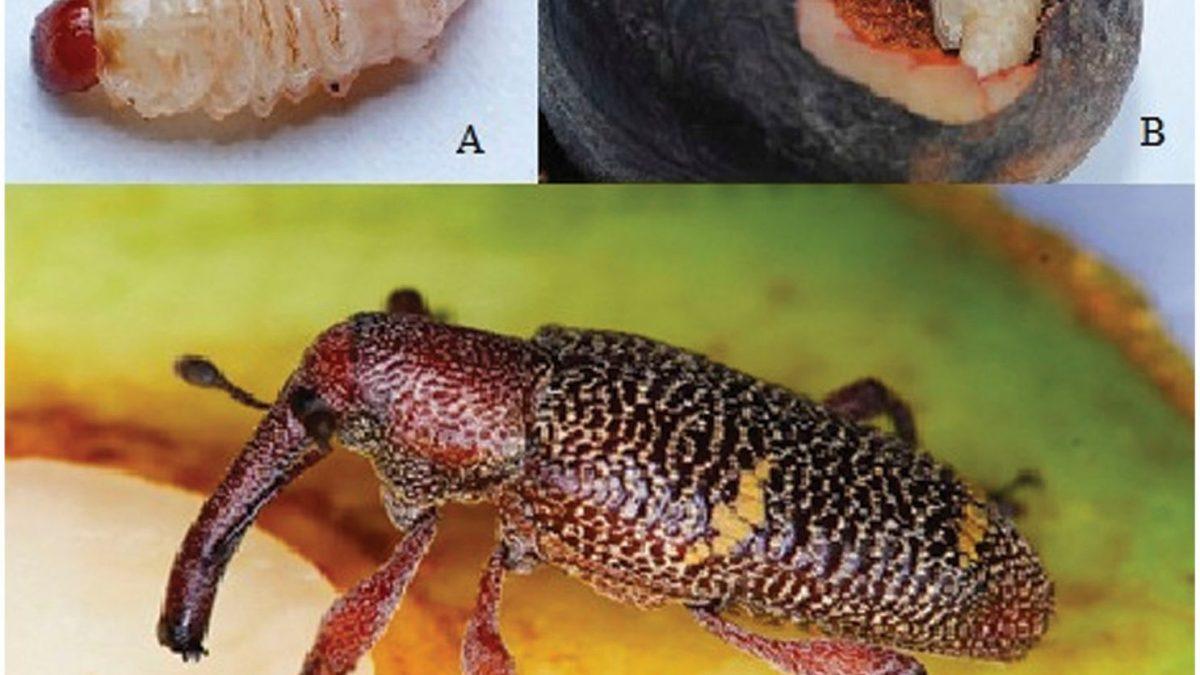 Larva (A), hueso perforado (B) y adulto (C) de barrenador grande del hueso