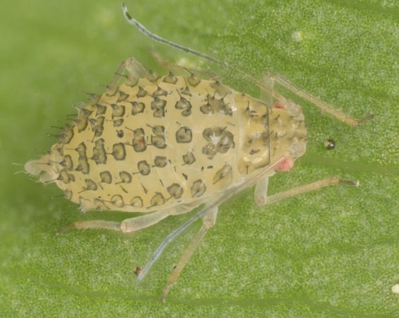 Pulgón manchado de la alfalfa (Therioaphis trifolii) - Adulto