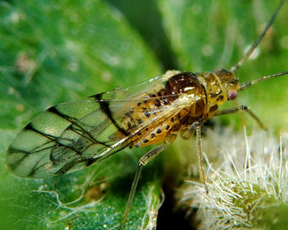 Pulgón manchado de la alfalfa (Therioaphis trifolii) - Adulto alado
