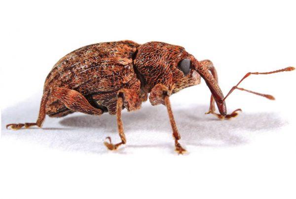 Barrenador pequeño del hueso (Conotrachelus perseae) - Adulto de barrenador pequeño del hueso