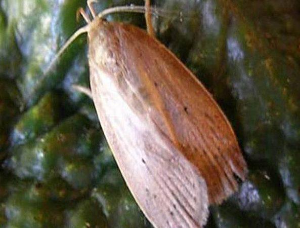 Palomilla barrenadora del hueso (Stenoma catenifer) - Adulto de palomilla barrenadora del hueso