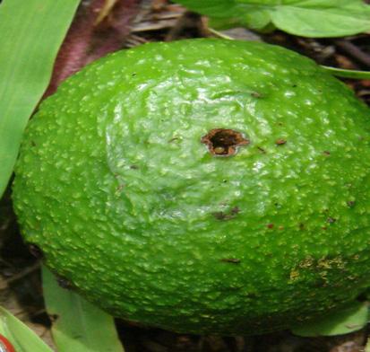 Barrenador grande del hueso (Heilipus lauri) - Fruto perforado por barrenador grande del hueso