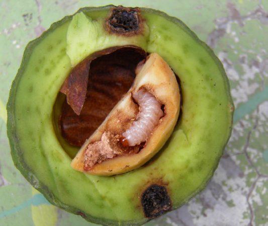 Barrenador grande del hueso (Heilipus lauri) - Larva de barrenador grande del hueso y daño en el fruto