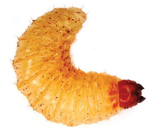 Barrenador pequeño del hueso (Conotrachelus perseae) - Larva de barrenador pequeño del hueso