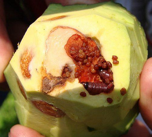 Palomilla barrenadora del hueso (Stenoma catenifer) - Fruto mostrando daños por palomilla barrenadora del hueso